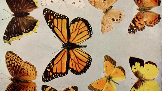 Different color butterflies